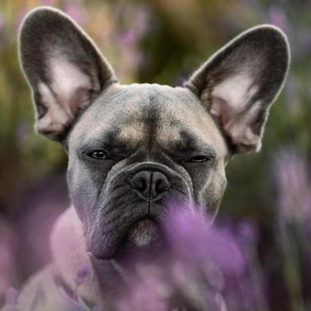 Mush the French Bulldog