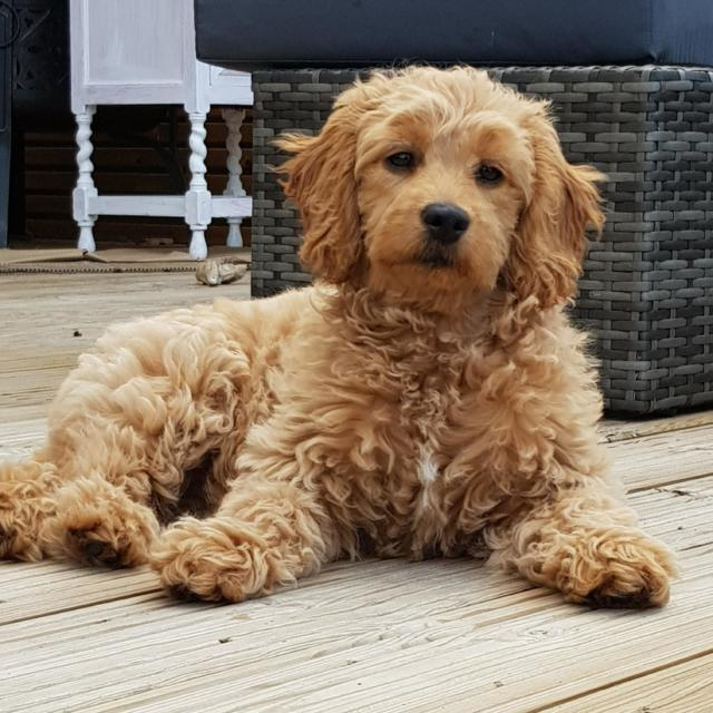Winnie the Goldendoodle