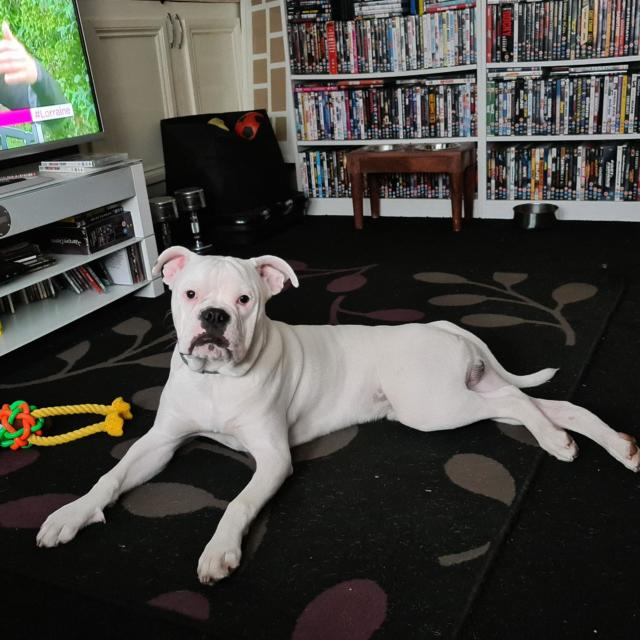 Minty  the American Bulldog