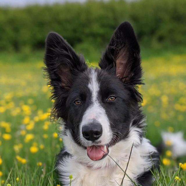 Monty the Border Collie