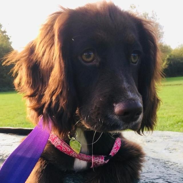 Coco the English Cocker Spaniel
