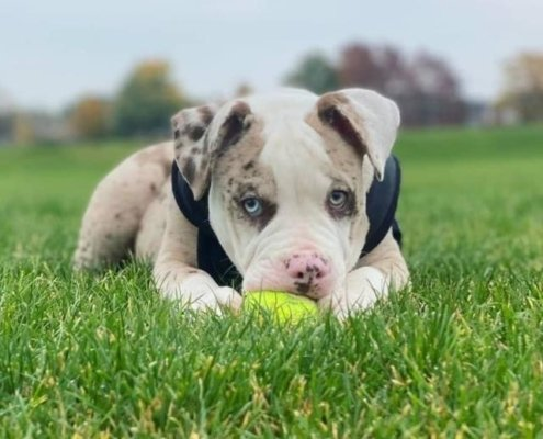 Roco the American Bulldog