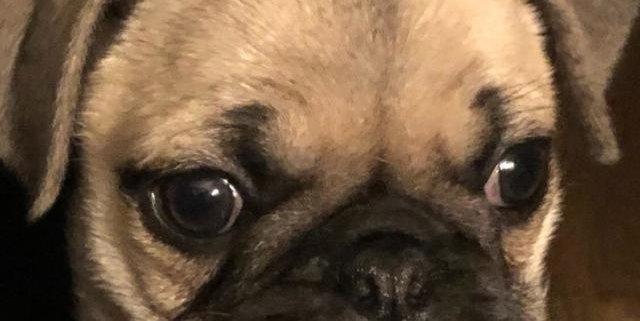 Dior the Pug