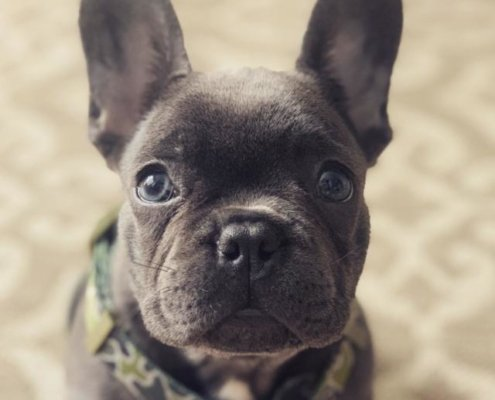 Rockstone the French Bulldog