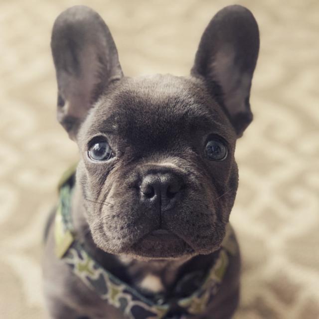 Rockstone the French Bulldog