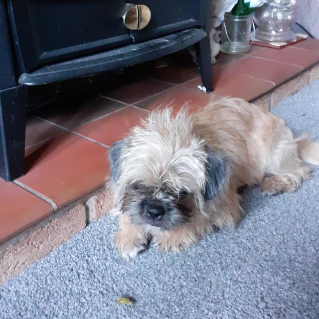 Molly the Yorkshire Terrier