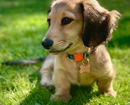Joey  the Miniature-Dachshund