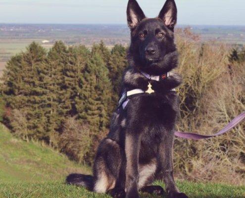 Yenna the German Shepherd Dog