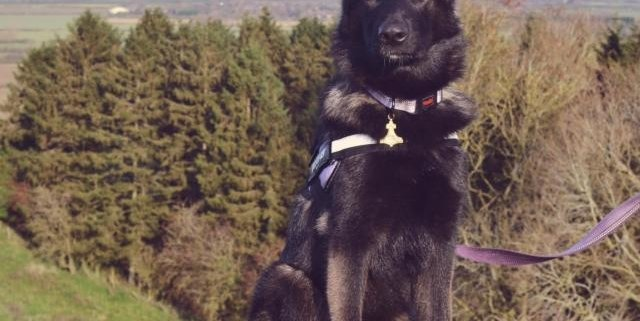 Yenna the German Shepherd Dog