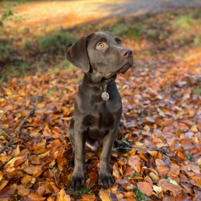 Dave the Labrador Retriever