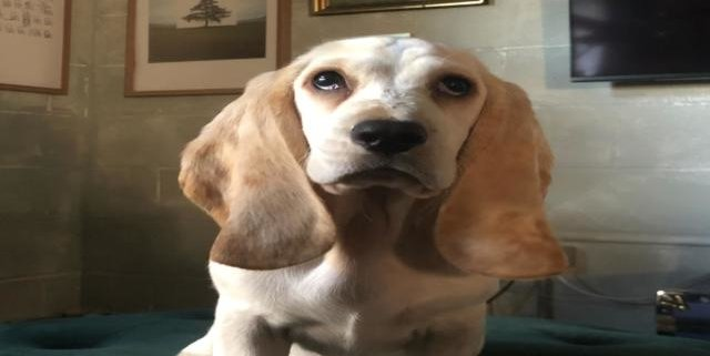 Dougal  the Basset Hound