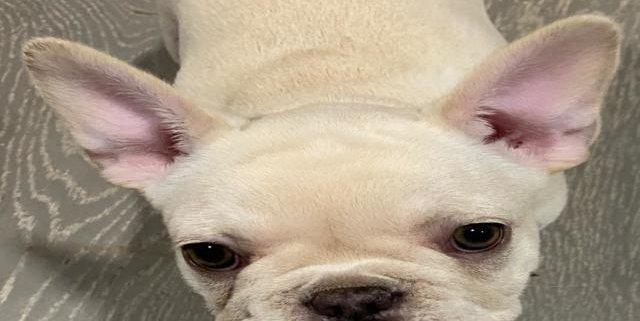 Snow white the French Bulldog