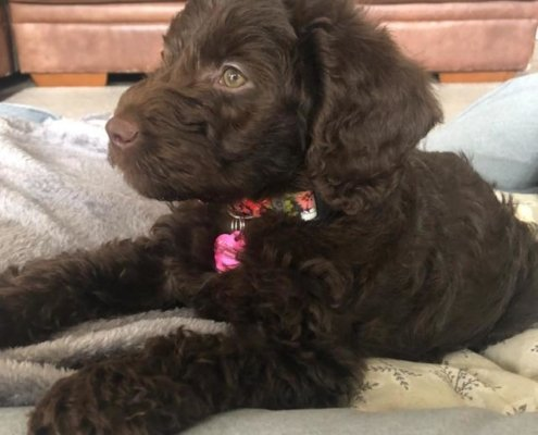 Maddison  the Labradoodle